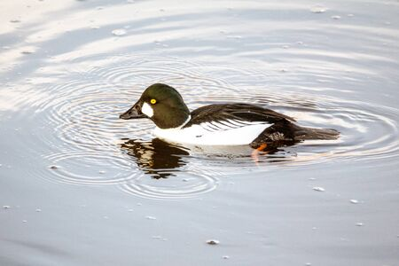 Common goldeneye Drake on the water 写真素材 - 128731853