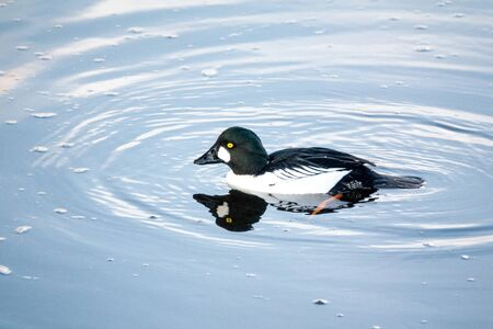 Common goldeneye Drake on the water