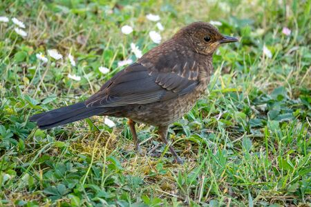 Common blackbird female 写真素材 - 128731881