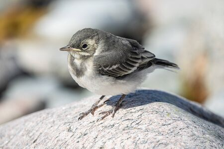 Baby White wagtail