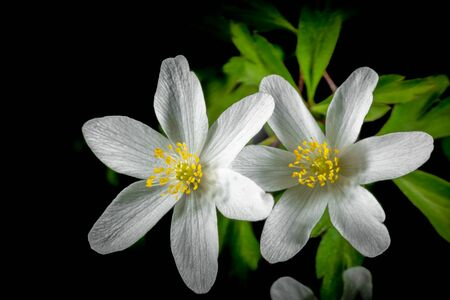 Windflower is one of the common names for Anemone nemorosa