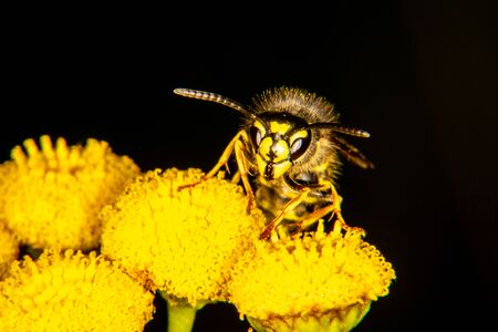 Common wasp on a yellow flower 写真素材 - 128731888