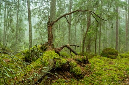 Ycke natural reserv is an old conifer forest in Sweden Stok Fotoğraf