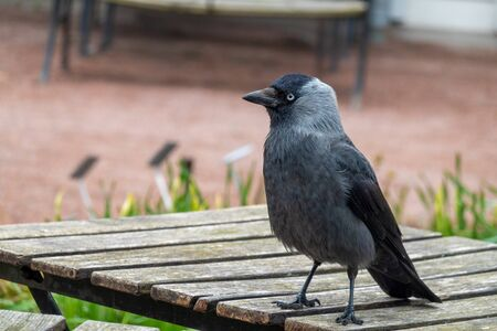 Jackdaw hanging around a cafe for scraps 写真素材