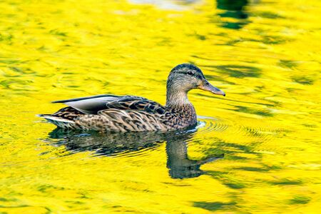 Mallard hen in  the yellow colored  water close to sun set 写真素材