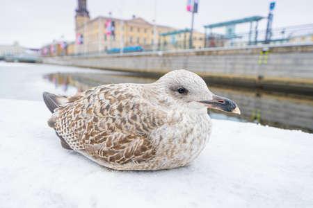 Juvenile European herring gull in winter by the water in downtown Gothenburg Stok Fotoğraf