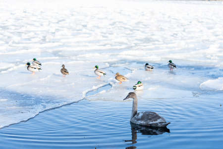 Winter on the swedish west coast and a juvenile swan Stok Fotoğraf