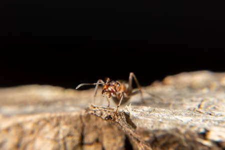 Red Wood Ant in spring