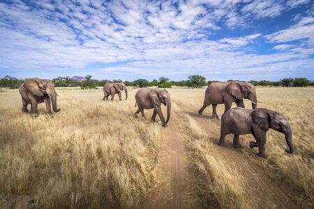 Group of five desert elephants on the search for food in the arid lands of Namibia