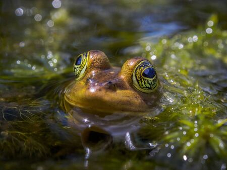 Frog with big yellow eyes sticking his head out of the water in the marshlands of Florida