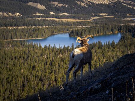 Canadian bighorn-sheep looking at the scenic landscape of western Canada