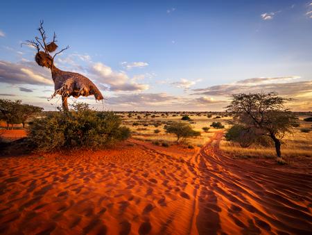 Groot nest van weversvogels in de woestijn van Kalahari, Namibië