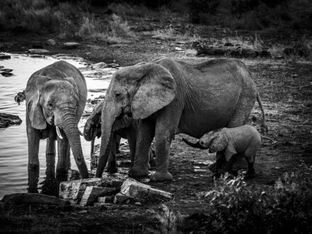 Black and white portrait of a group of elephants enjoying the cool water of a waterhole in Etosha National Park
