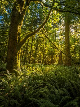 Beautiful green rainforest on Vancouver Island, Canada illuminated by the rising sun