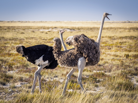 Male ostrich looking annoyed by the gestures of his female companion in Etosha National Park, Namibia