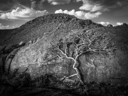 Amazing tree growing on a big rock in the desert of Nambia - black and white.