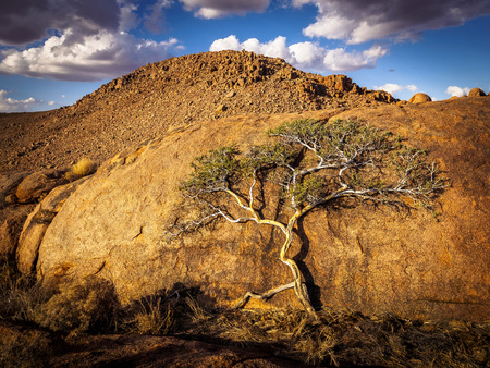 Beautiful tree growing on a big rock in the desert of Nambia. 免版税图像