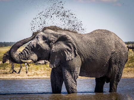 Male elephant protecting his back from the african sun with a mudpack 스톡 콘텐츠