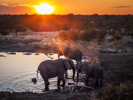 Group of three elephants enjoying the cool water of a waterhole during an amazing African sunset in Etosha National Park 免版税图像