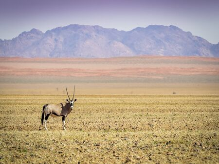 Orix looks straight into the camera in the arid desert of Namibia