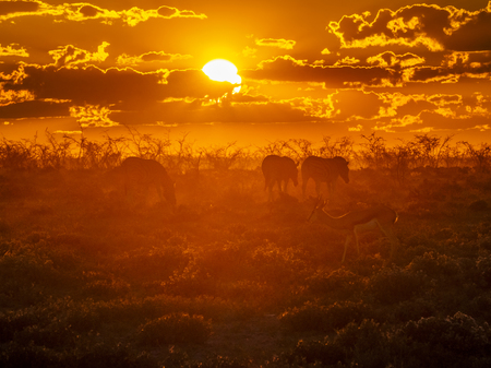 A group of zebras and springbok looking for food during an amazing African sunset