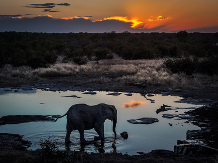 Lonley elephant enjoying the cool water of a waterhole during an amazing African sunset in Etosha National Park