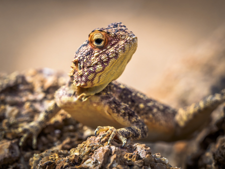 Big yellow lizard waiting for insects in the namibian desert 스톡 콘텐츠