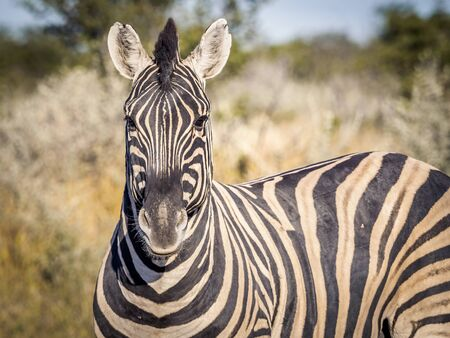 Portrait of a zebra looking straight into the camera in Etosha National Park, Namibia
