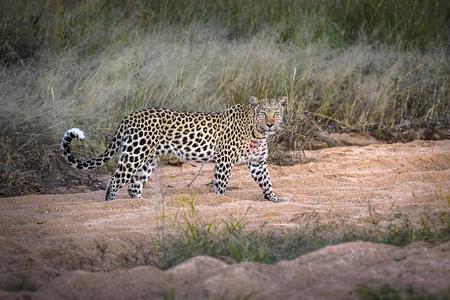 Lonley female leopard wandering around looking for prey at Okonjima Bushcamp, Namibia in black & white