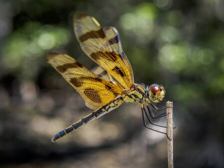 Portrait of a yellow dragonfly with big red eyes sitting on a little wood-stick