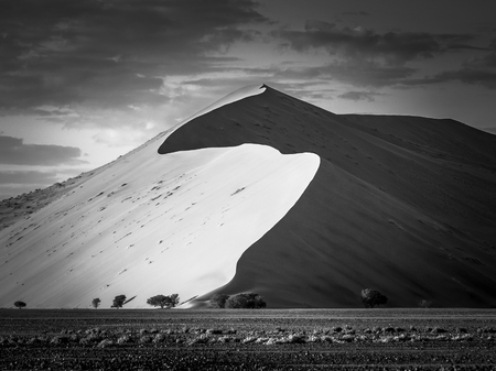 Big dune at sunrise looking impressive with comparatively small trees in the foreground - black & white