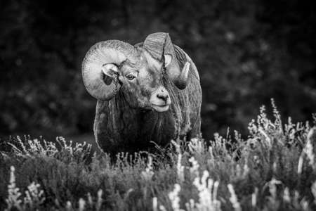Canadian bighorn-sheep enjoying the first sunlight of the day