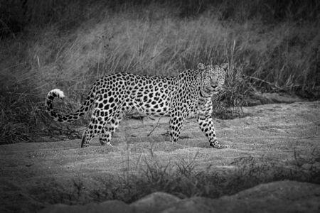 Lonley female leopard wandering around in Okonjima Bushcamp, Namibia