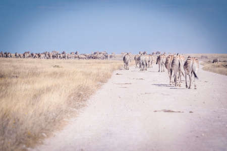 Big herd of zebras traveling through Etosha National Park while searching for food