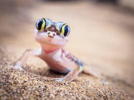 Little desert gecko with amazing big eyes looking straight into the camera in Namibia, Africa
