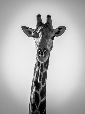 Black and White portrait of a giraffe looking straight into the camera