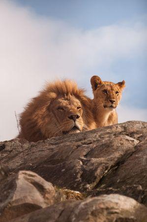 dangerous love: Leone e cucciolo su una fotocamera affiancata cima rocciosa