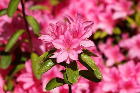 ericaceae: Japanese azaleas