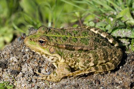 amphibian: Toad