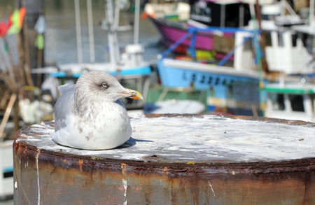 feathering: Lying down gull