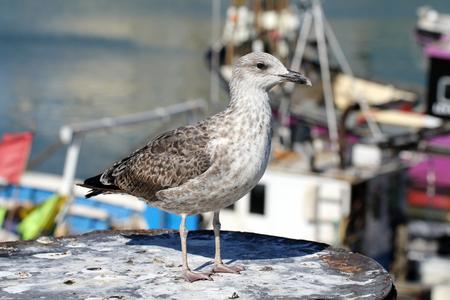 juvenile: Juvenile European herring gull