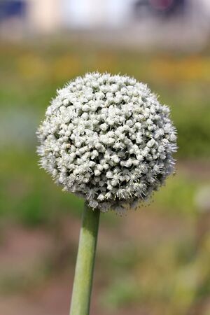 bulb and stem vegetables: Leek flower