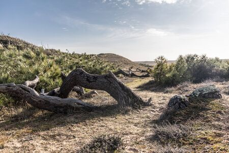 misshapen: Strange trees between dunes and forest in Bretignolles-sur-Mer (France) Stock Photo