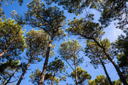 Pine tops in the forest with blue sky