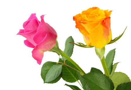 Two Roses (Rosaceae) isolated on white background
