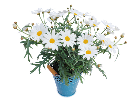 Daisies (Margeriten) perennials isolated on white background, Germany Stock Photo
