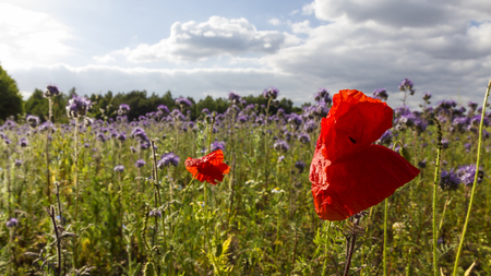 Poppies and Cornflowers in a meadow, Lüneburger Heide, Germany. Backlit Photograph