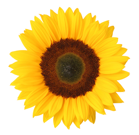 Sunflower (Helianthus annuus, Asteraceae) isolated on white background. Germany