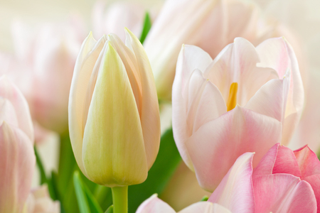Close-up of tulips (Lily family, Liliaceae), Germany