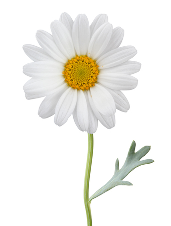 Daisy (Margerite) isolated on white background, including clipping path. Germany